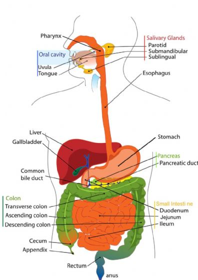 Gastrointestinal Tract, Digestive System. Educational Print/Poster (5404) (5405)